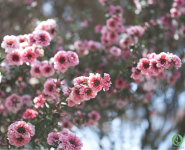 Manuka – Nature's Magic