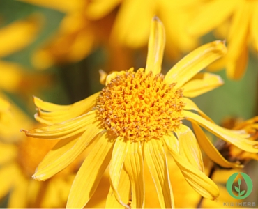 How Does Arnica really Work?