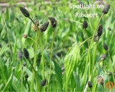 Spotlight on Ribwort
