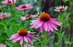 Build Resilience with Echinacea